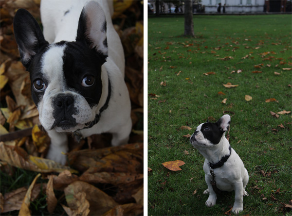 olive_french_bulldog